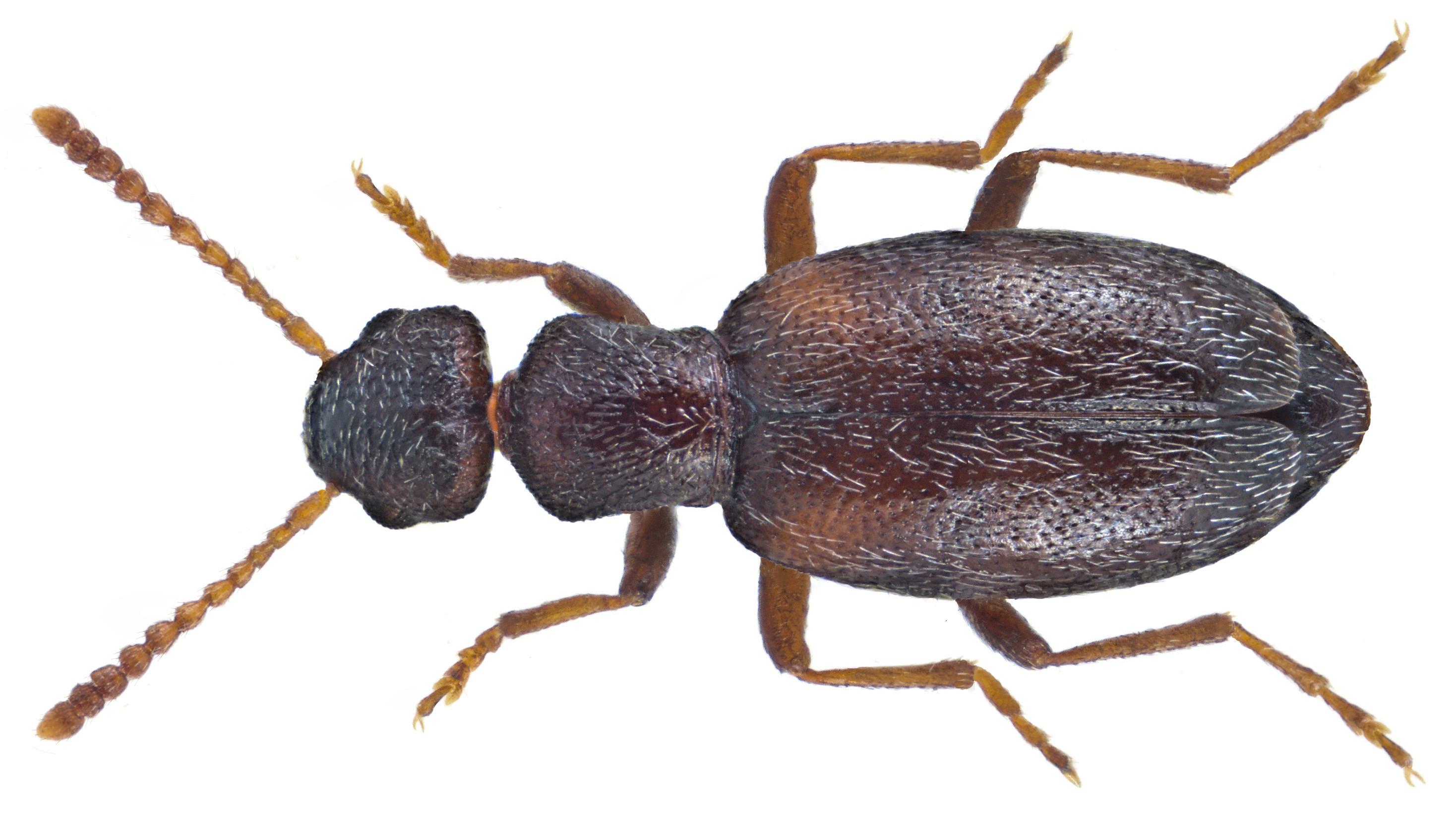 Image of <i>Anthicus fenestratus</i> W. L. E. Schmidt 1842