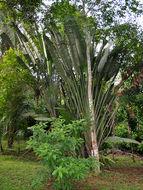 Image of traveler's tree
