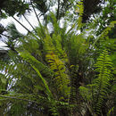 Image of giant swordfern