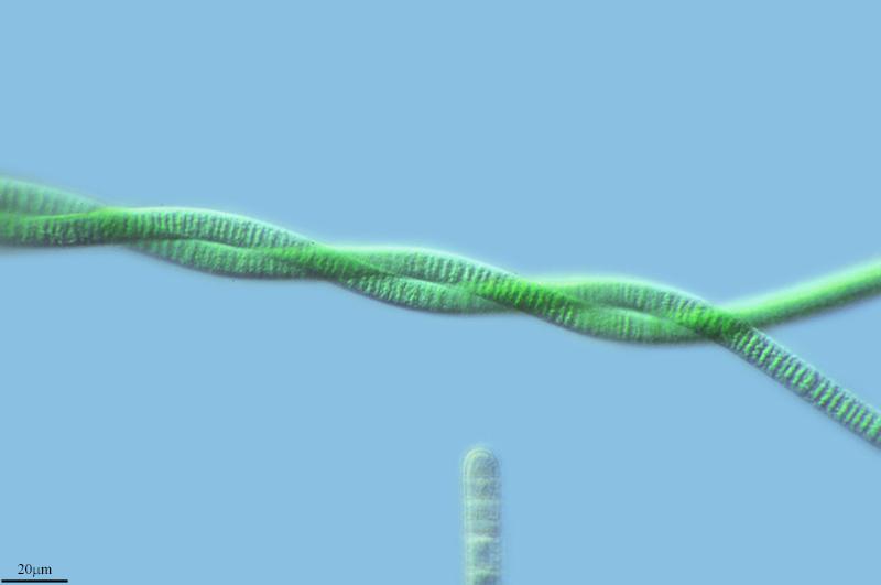 Image of <i>Oscillatoria limosa</i>