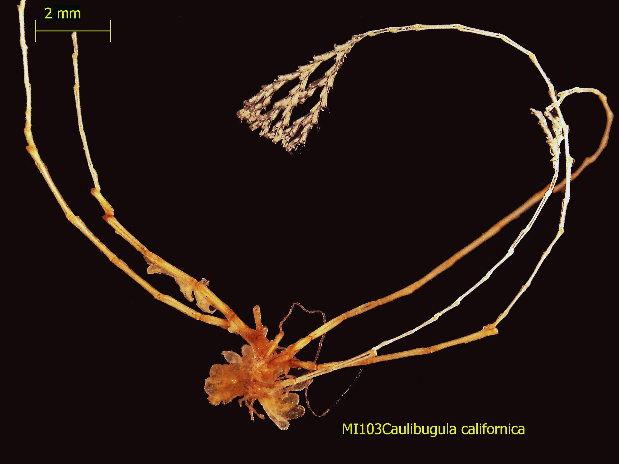 Image of <i>Caulibugula californica</i> Robertson 1905