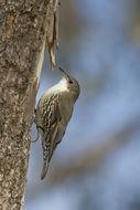 Image of White-throated Treecreeper