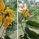 Image of <i>Senna macrophylla</i> (Kunth) H. S. Irwin & Barneby