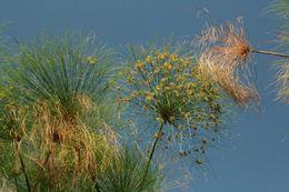 Image of Indian matting plant