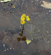 Image of leafy bladderwort