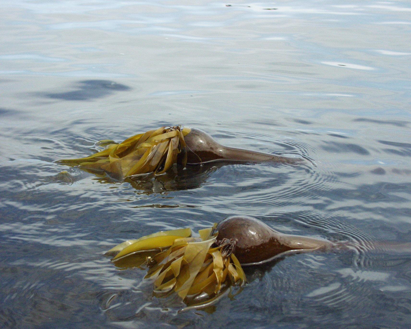 Image of Kelp