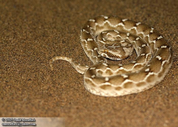 Image of <i>Echis carinatus</i>