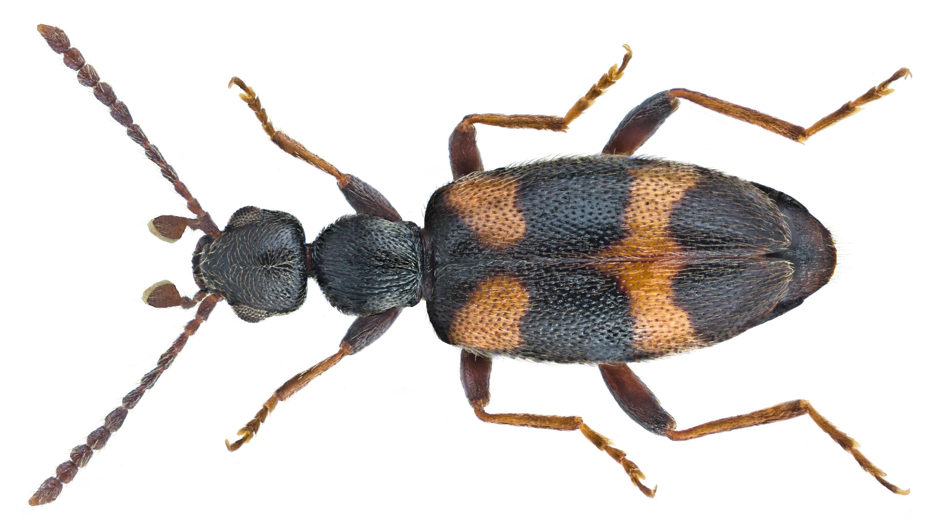 Image of <i>Anthicus laeviceps</i> Baudi 1877