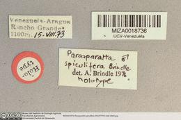 Image of <i>Parasparatta spiculifera</i>