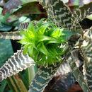Image of <i>Orthophytum gurkenii</i> Hutchison