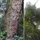 Image of <i>Cabralea canjerana</i> (Vell.) Mart.