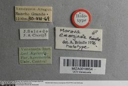 Image of <i>Marava emarginata</i> Brindle 1977