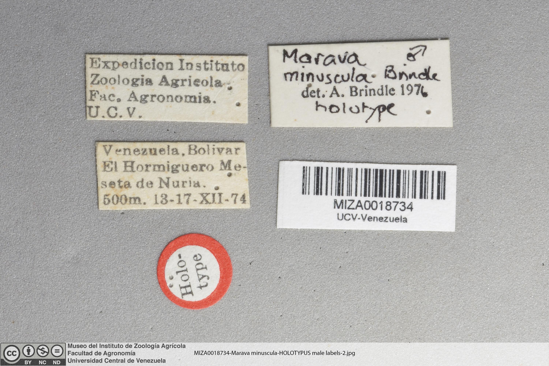 Image of <i>Marava minuscula</i>