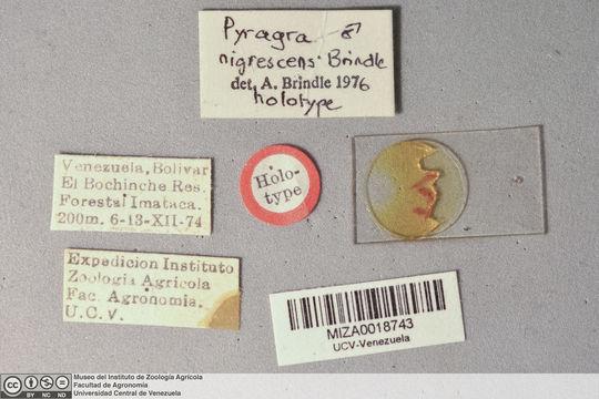 Image of <i>Pyragra nigrescens</i> Brindle 1977