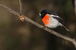 Image of Scarlet Robin