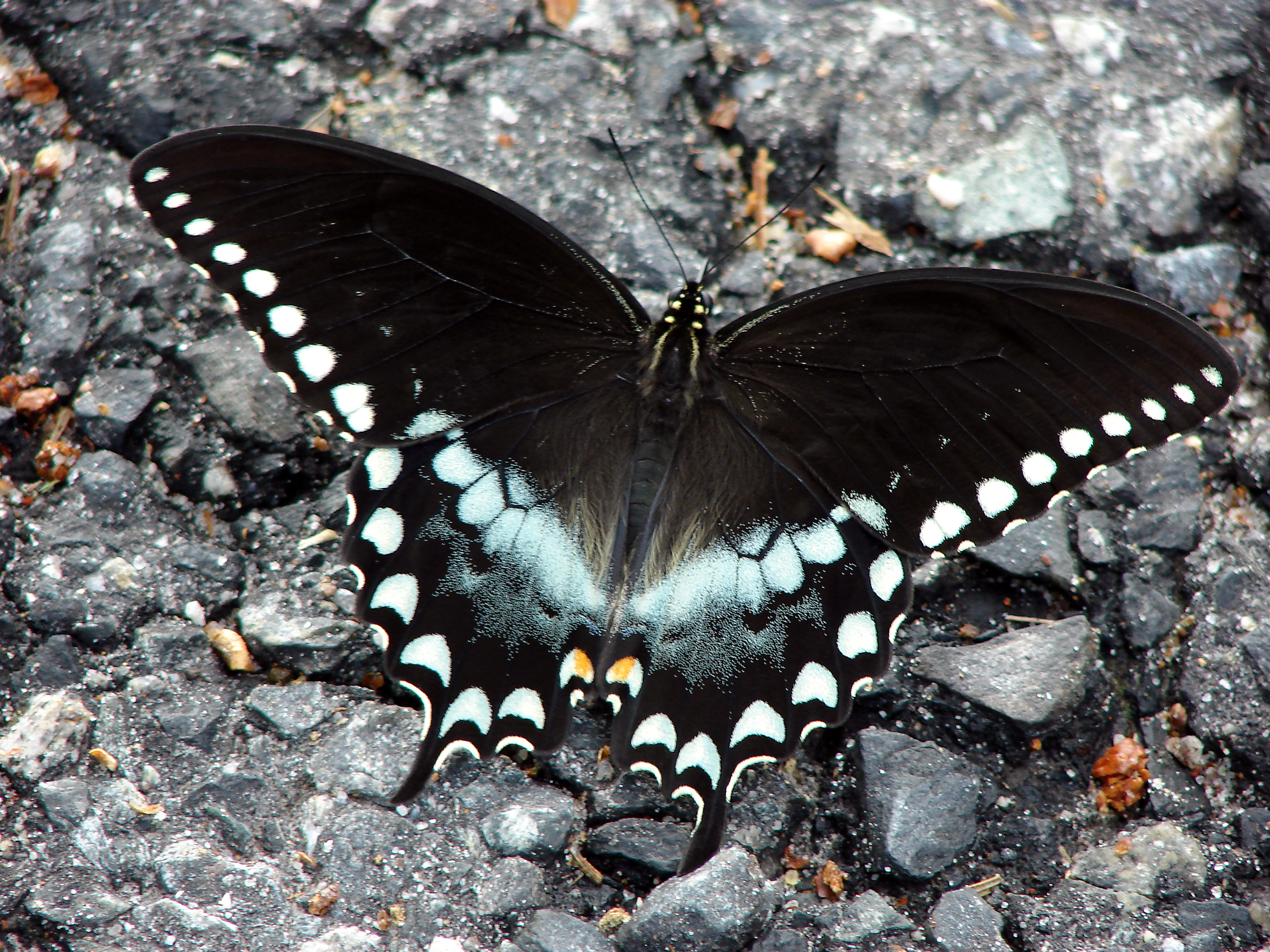 Image of Black Swallowtail