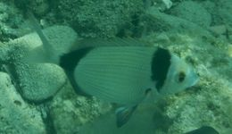Image of Blacktail Bream