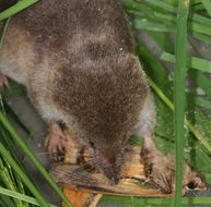 Image of Common Shrew