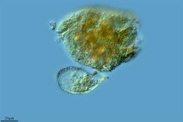 Image of <i>Campascus minutus</i>
