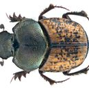 Image of <i>Onthophagus</i> (<i>Palaeonthophagus</i>) <i>similis</i> (Scriba 1790)