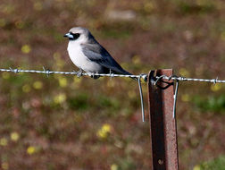 Image of Black-faced Woodswallow