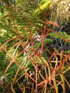 Image of New Zealand red pine
