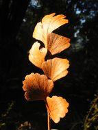 Image of <i>Phyllocladus toatoa</i> Molloy