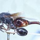 Image of <i>Megalocolus motator</i>