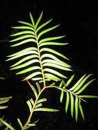 Image of Brown Pine