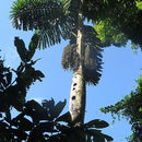 Image of <i>Iriartea deltoidea</i> Ruiz & Pav.