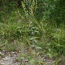 Image of nettle-leaf mullein