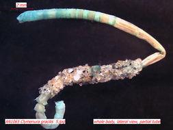 Image of <i>Clymenura gracilis</i> Hartman 1969