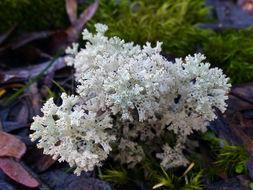 Image of <i>Cladia retipora</i> (Labill.) Nyl.