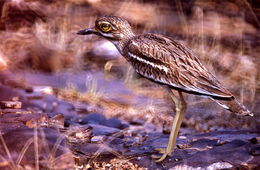 Image of Indian Thick-knee