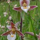 Image of Marsh Helleborine