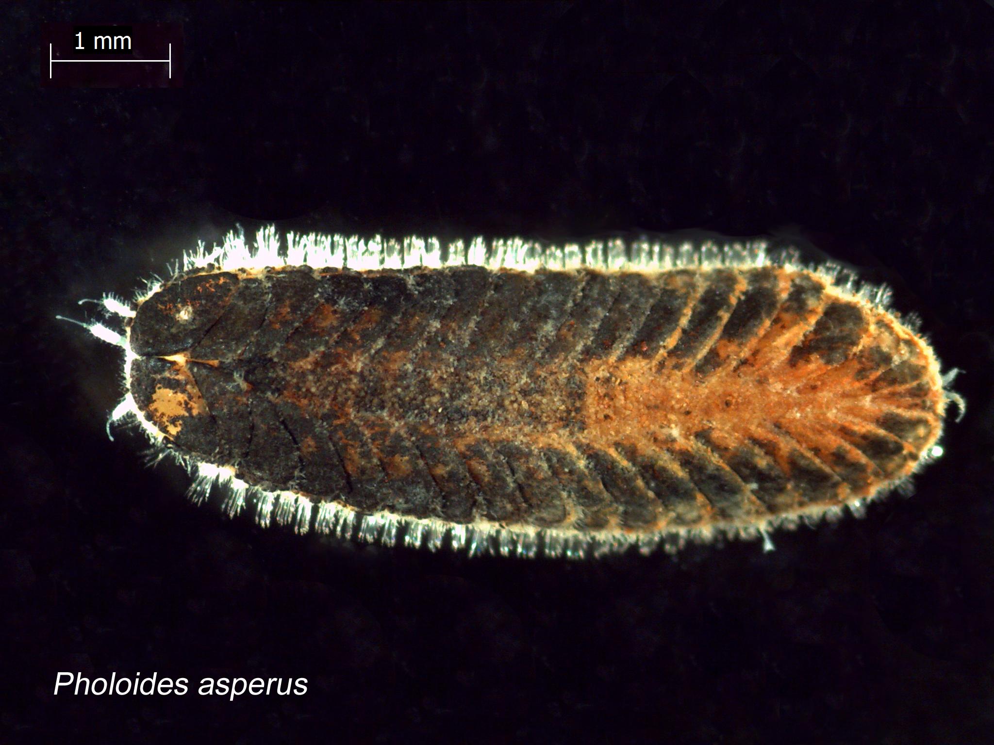 Image of <i>Pholoides asperus</i> (Johnson 1897)