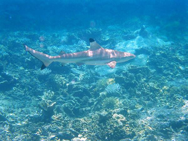 Image of Blacktip Reef Shark