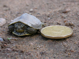 Image of Common Map Turtle