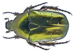 Image of <i>Protaetia</i> (<i>Potosia</i>) <i>cuprea metallica</i> (Herbst 1782)