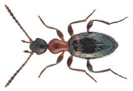 Image of <i>Formicomus pedestris</i>