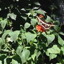 Image of tree marigold