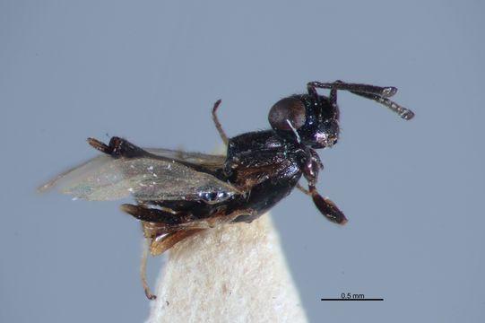 Image of <i>Eupelmus merops</i> Walker 1839