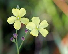 Image of Florida yellow flax