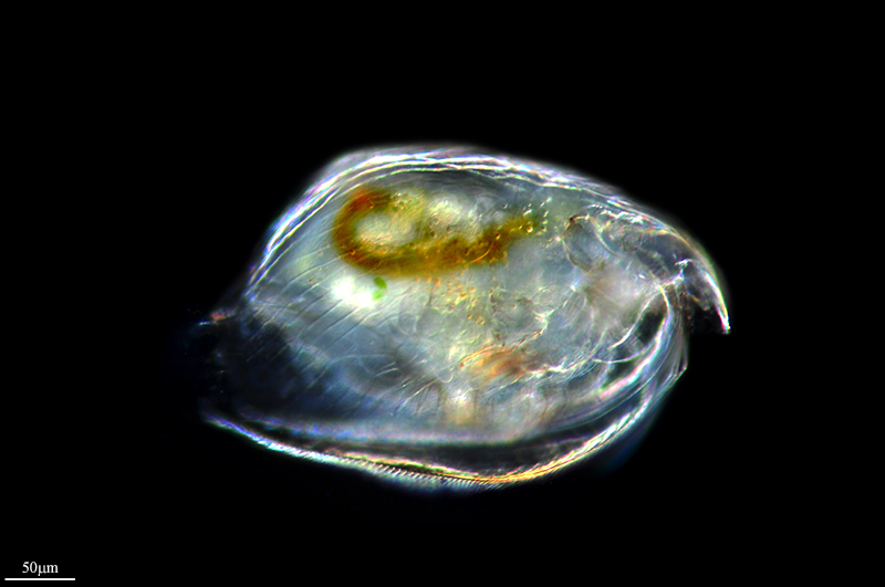 Image of <i>Pleuroxus denticulatus</i>