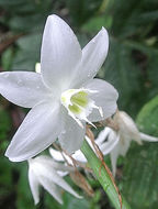 Image of <i>Eucharis formosa</i> Meerow