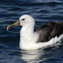 Image of Indian Yellow-nosed Albatross