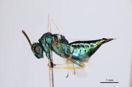 Image of <i>Pteromalus caudiger</i> (Graham 1969)