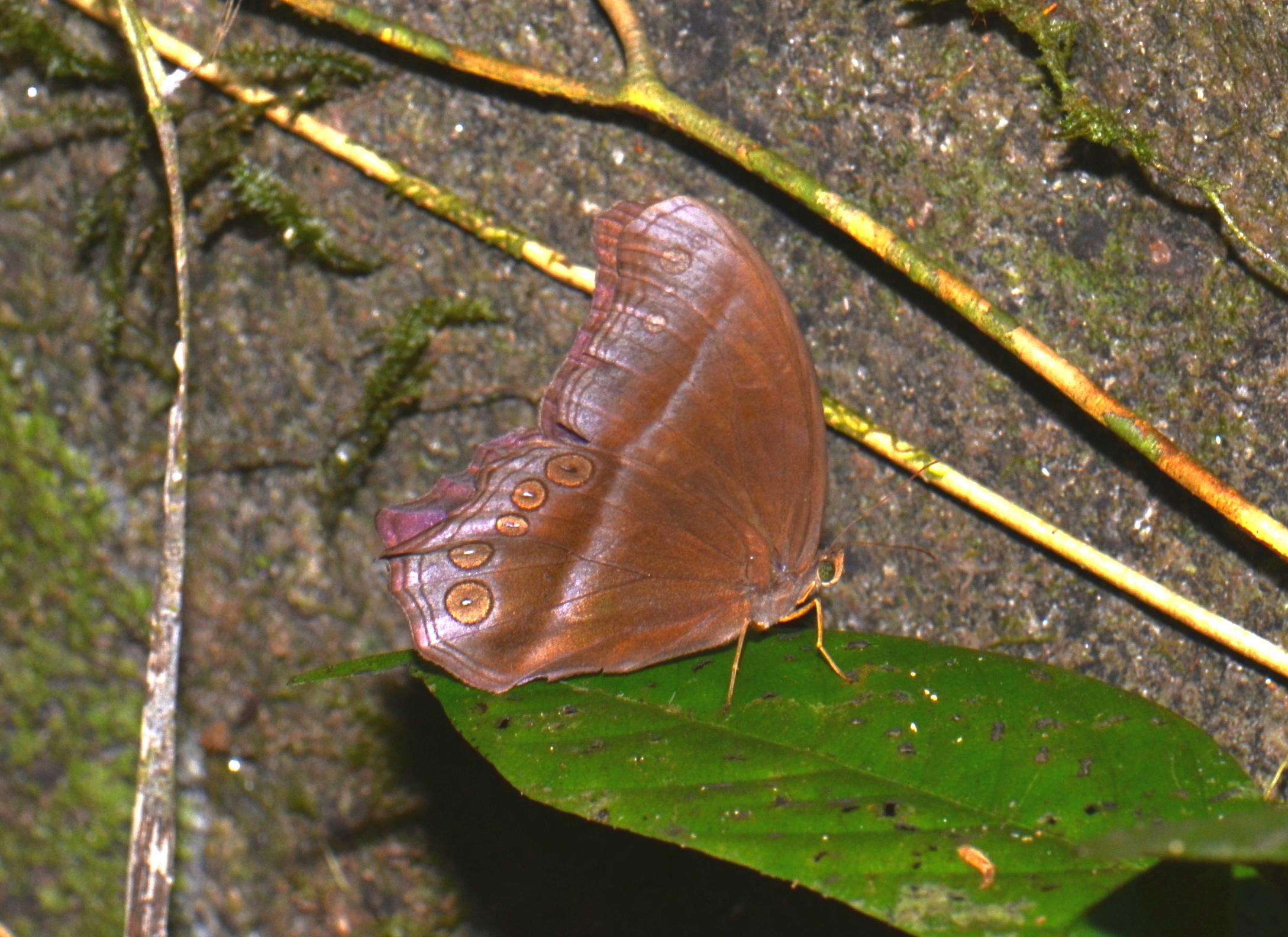 Image of <i>Coelites <i>epiminthia</i></i> ssp. epiminthia