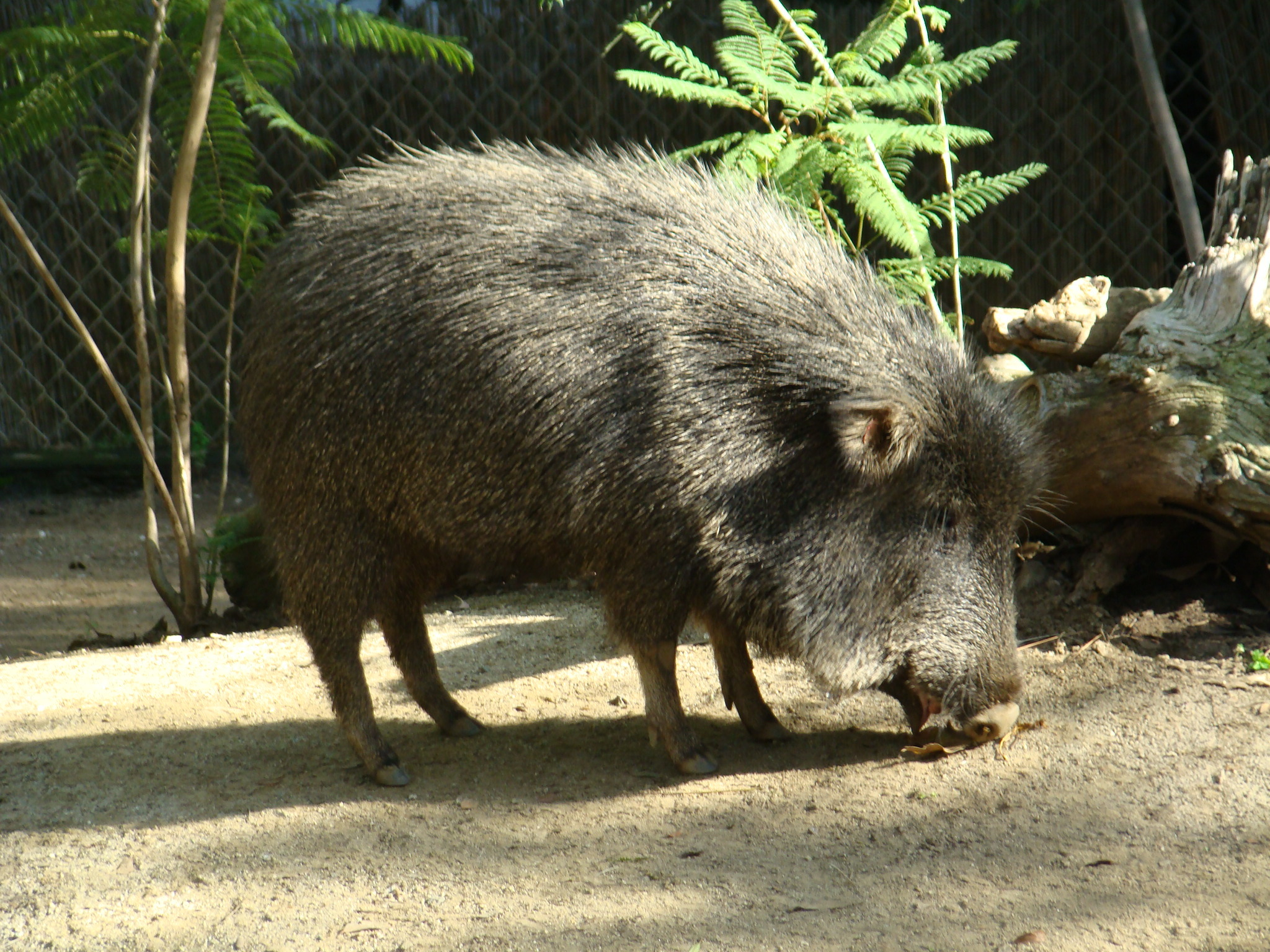 Image of Chaco Peccary