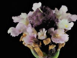 Image of Turkey Tangle Frogfruit